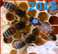 Queen Bee Buckfast marked blue