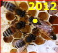 Queen Bee Buckfast marked yellow