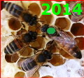 Queen Bee Buckfast marked green