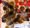 Queen Bee Buckfast marked red